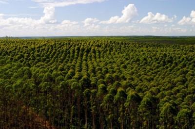 Da denominada floresta. O eucalipto colonialista