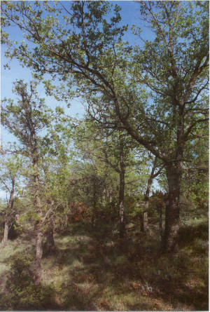 Quercus_faginea