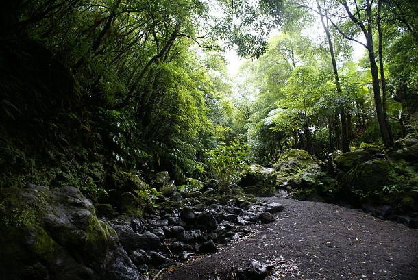 A floresta de Poça das Asas, no concelho da Horta, Ilha do Faial, Açores