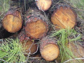 pinheiroscortados